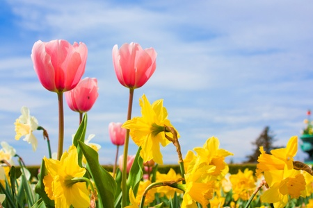 Nice blossom of spring, tulips, narciss on blue sky photo