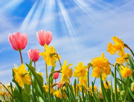 Ładny kwiat wiosny, Tulipany, narciss na bÅ'Ä™kitne niebo Zdjęcie Seryjne
