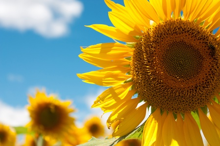 close-up view of sunflower with cloudy sky in July