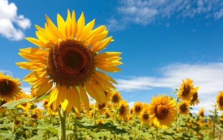 Bereich der Sonnenblumen unter Juli Sonne