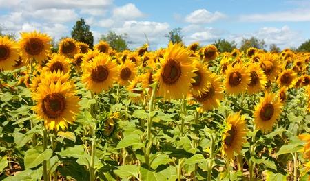 Bereich der Sonnenblumen unter Juli Sonne Standard-Bild - 10069960