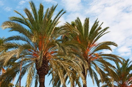 View of Palm trees in Barcelona - Catalonia, Spain Standard-Bild
