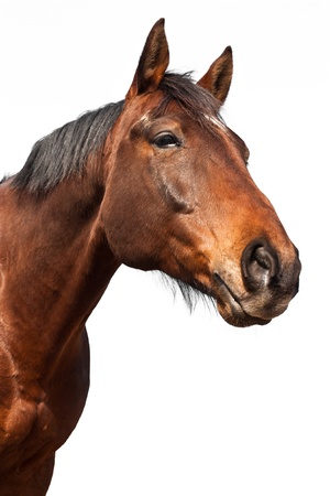 horse background: Portrait of a brown horse isolated on white background