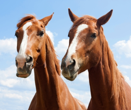 Portrait of two brown horses on blue sky