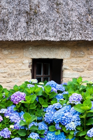 Details of a thatched cottage in Brittany  France  with hydrangeas Standard-Bild
