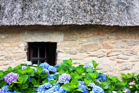 thatched house: Details of a thatched cottage in Brittany  France  with hydrangeas Stock Photo