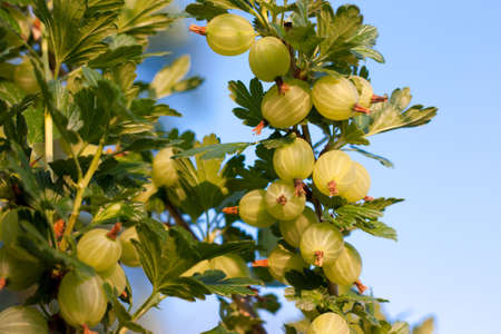 gooseberry bush: Gooseberries ripening on their branches