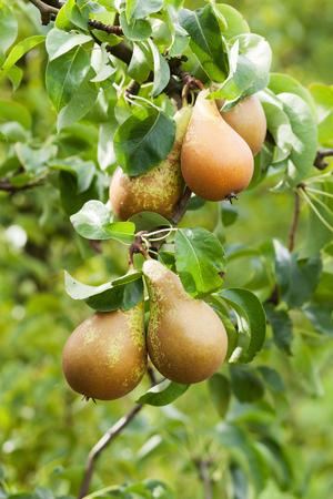 pera: Pera en manzano Foto de archivo