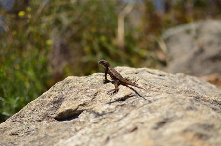 looking towards camera: Macro of a lizard sitting on a rock, looking back towards the camera