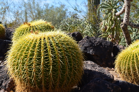 Cactus in the Desert Botanical Gardens, Phoenix Stock Photo