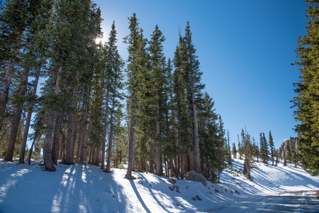frosty morning: Sun behind tall trees in snow. Located near Mirror Lake, Wyoming