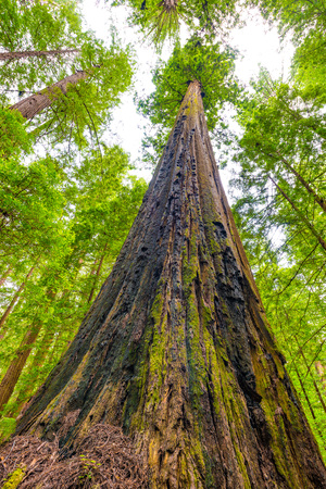 Looking up at a Redwood tree off Avenue of the Giants