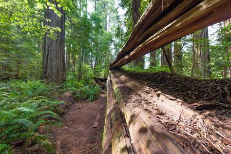 レッドウッド国立公園と州立公園で巨人の通りに沿って沿岸レッドウッドの木を見上げてください。