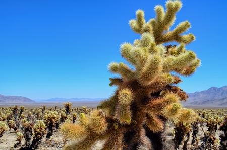 Cholla Cactus in Joshua Tree National Park Reklamní fotografie