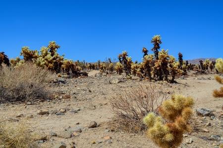 Cholla cactus in Joshua Tree National Park, California Reklamní fotografie