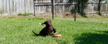 Young chocolate labrador puppy playing on the grass with a hamburger toy