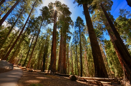 Sequoia trees in Kings Canyon & Sequoia National Park, California Archivio Fotografico