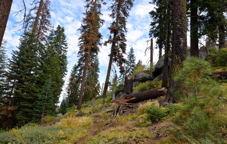 Sequoia trees in Kings Canyon & Sequoia National Park, California Reklamní fotografie