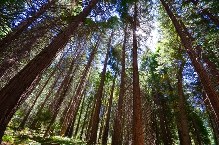 Sequoia trees in Kings Canyon & Sequoia National Park, California Stock Photo