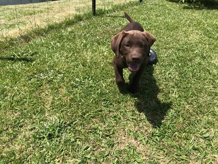 Young chocolate labrador puppy playing and running towards camera Reklamní fotografie