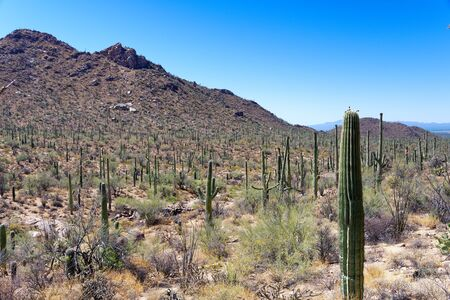 Saguaro cactus in Saguaro National Park, Arizona Фото со стока