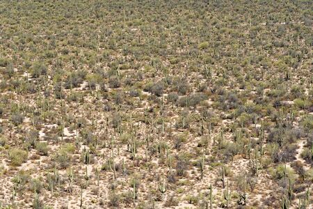 Looking down on a field of saguaro cactus plants