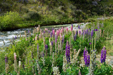 Colorful lupine alpine wildflowers in the South Island of New Zealand