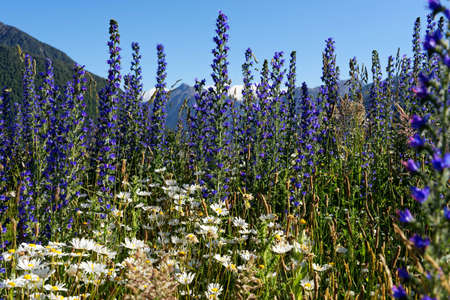 Lupine along the Great Alpine Highway, Arthurs Pass, New Zealand Banco de Imagens
