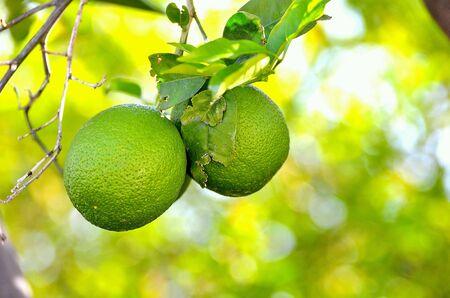 Uniquely green, oranges