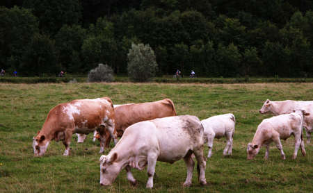 atilde: Cows