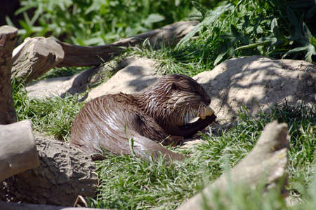 devour: A single Otter feeding