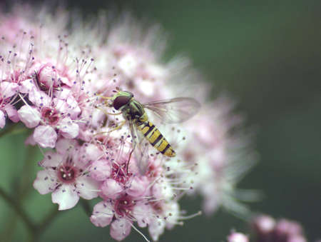 hover: Hover Fly buzzing around pretty flower