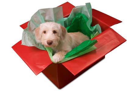 Cute yellow puppy popping out of a gift box isolated over white photo