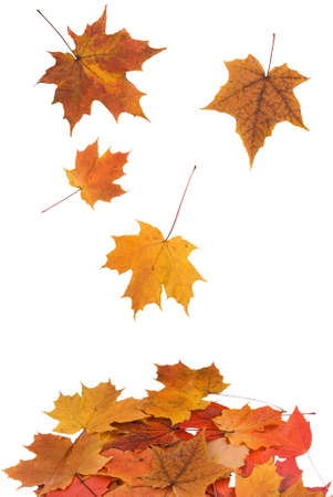Maple leaves falling isolated on a white background Reklamní fotografie