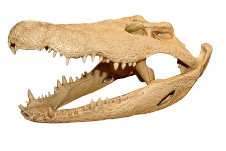 Alligator skull isolated over a  white background