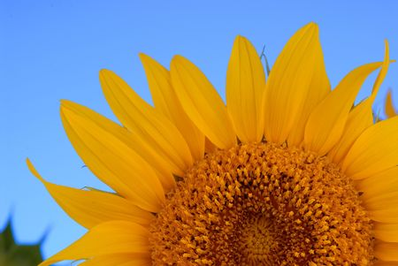 detail of a sunflower plant with blue background
