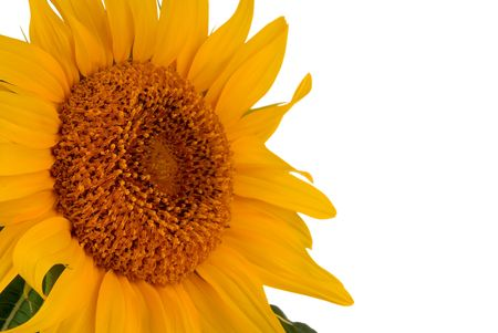 detail of a sunflower plant with white background Фото со стока