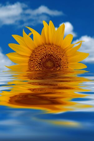 Wonerfully warm yellow Sunflower with sky and clouds background setting like a sun over a water reflection closeup