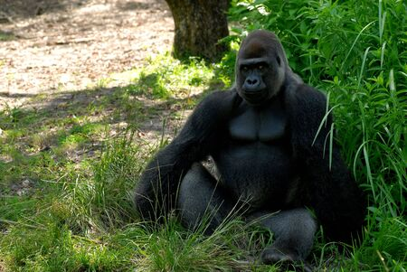 Male silverback gorilla sitting in a forest and looking very serious