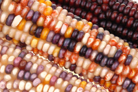 Colored corn close up isolated over a white background photo