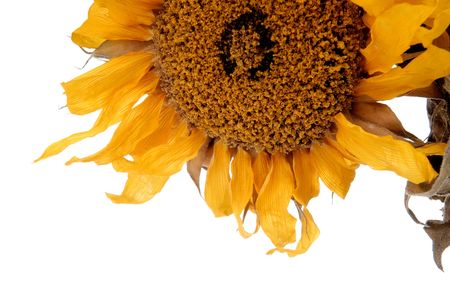 detail of a dried up sunflower plant isolated over a white background