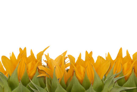 sunflower plants with a white background