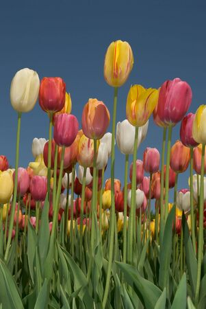 Tulip field with multi colored tulips in front of a blue sky Stock Photo - 3029552