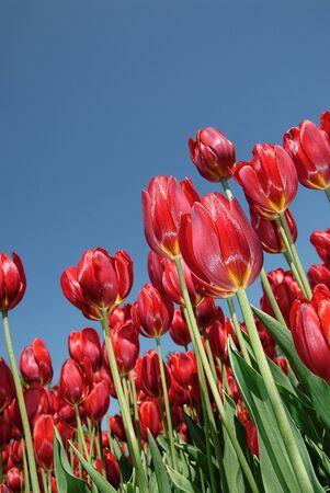 Red tulips on an angle with a blue sky background Reklamní fotografie