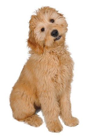 Puppy in front of white background