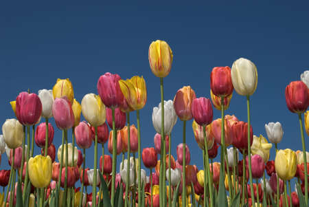 Tulip field with multi colored tulips in front of a blue sky Reklamní fotografie