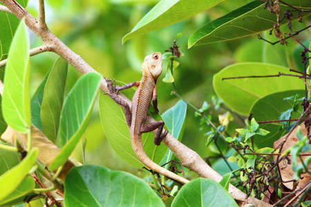 south india: Lizard in foliage. South India.