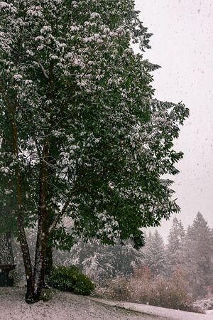 Large snow covered tree Archivio Fotografico