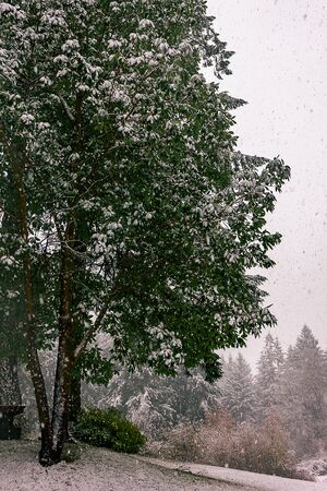 Large snow covered tree Stock Photo