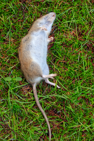 dead rat with large tail laying on grass in yard